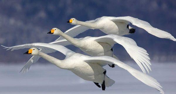 Именно мышцы и позвонки шеи удерживают голову неподвижной и компенсируют движение всего тела птицы вверх и вниз, вызываемое крыльями